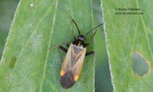 Adelphocoris seticornis 2