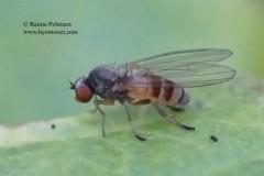 Agathomyia cinerea 2