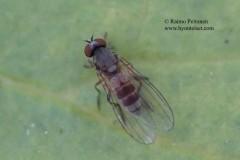 Agathomyia cinerea 1