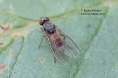 Agathomyia lundbecki