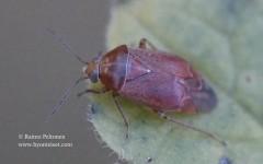 Agnocoris rubicundus 2
