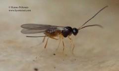 Alysiinae, tribus Alysiini sp. 2
