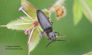 Ampedus nigrinus 1