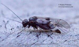 Amphigerontia bifasciata 2