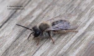 Andrena clarkella 2