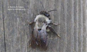 Andrena vaga 1