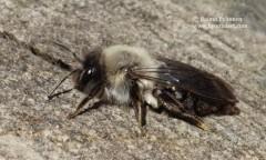 Andrena vaga 2