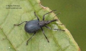 Apionidae sp.