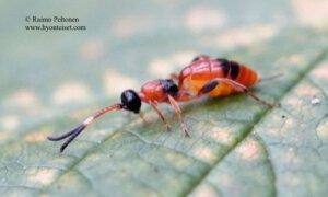 Aptesis nigrocincta 2