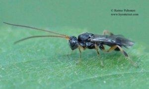 Ascogaster sp. 2