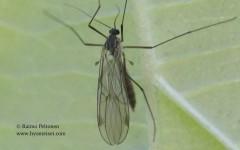 Bolitophila sp. 1