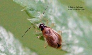 Bryocoris pteridis 2