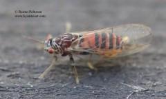 Cacopsylla melanoneura/affinis