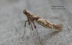 Caloptilia hemidactylella 1