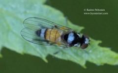 Callomyia admirabilis/krivosheinae