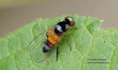 Callomyia krivosheinae