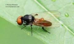 Callomyia speciosa 3