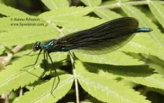 Calopteryx splendens 3