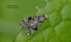 Campiglossa achyrophori/doronici