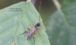 Campodorus/Mesoleius sp.