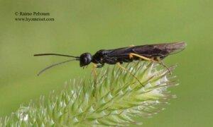 Cephus fumipennis
