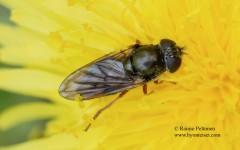 Cheilosia flavipes 1