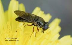 Cheilosia flavipes 2
