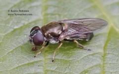 Cheilosia scutellata 2