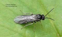 Claremontia tenuicornis