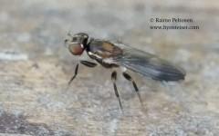 Clusiodes cf. albimanus