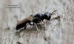 Crossocerus annulipes 2