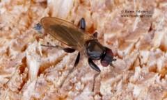 Crumomyia cf. nitida