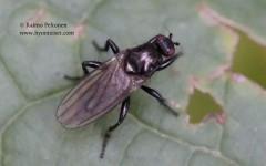 Crumomyia sp. 1
