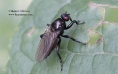 Crumomyia sp. 2