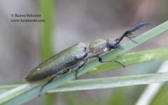 Ctenicera pectinicornis 2