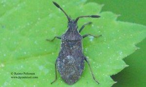 Ulmicola spinipes 2