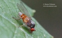 Agathomyia lundbecki 2