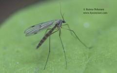 Bolitophila sp. 2