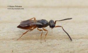 Megaspilidae sp. 2