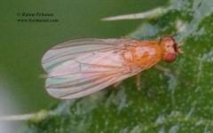 Meiosimyza cf. laeta