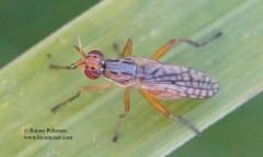 Dichetophora finlandica 1