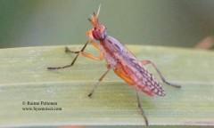 Dichetophora finlandica 2