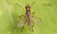 Dichetophora finlandica 3