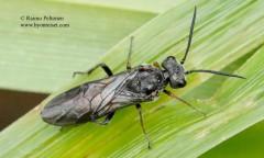 Dolerus bimaculatus 1