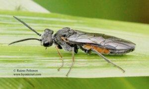 Dolerus bimaculatus 2