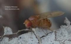 Drosophila transversa