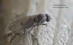 Drosophila viriis-ryhmä 1