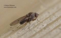 Drosophila viriis-ryhmä 2