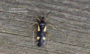 Dryophilocoris flavoquadrimaculatus