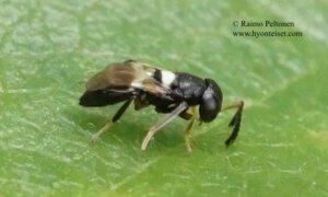 Encyrtidae: Encyrtus infidus 2